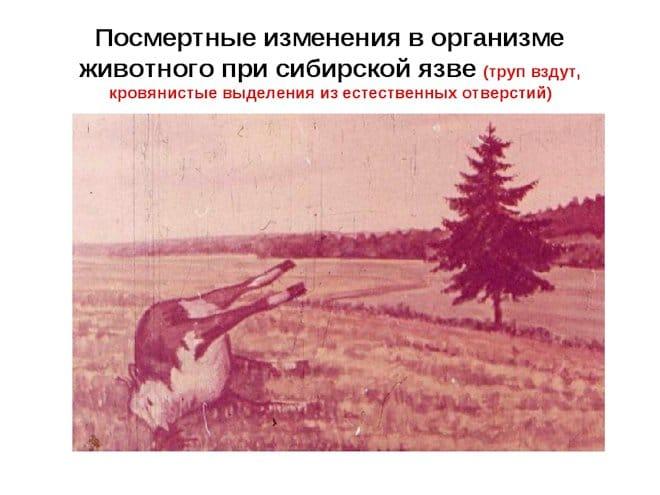 посмертные изменения в организме животного при сибирской язве